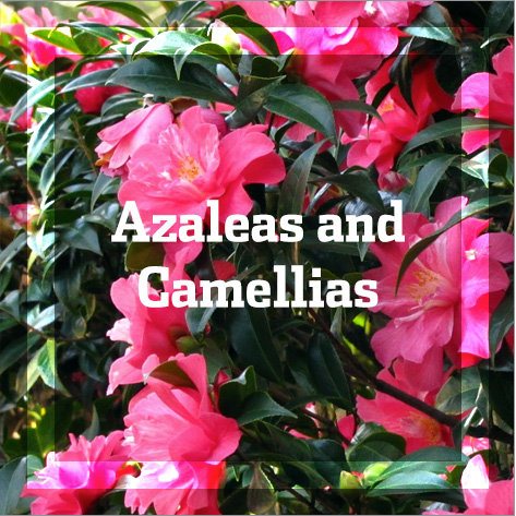 Azaleas and Camellias