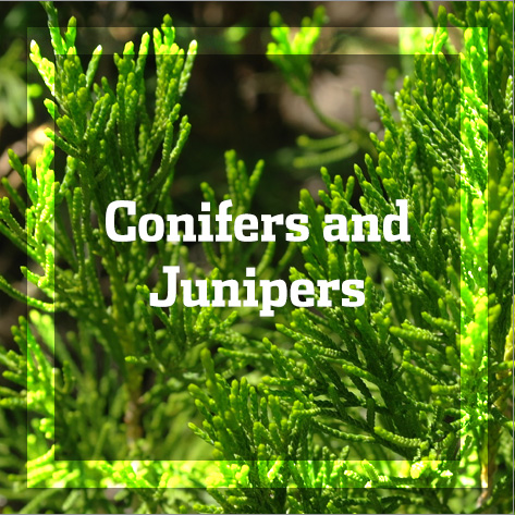 Conifers and Junipers