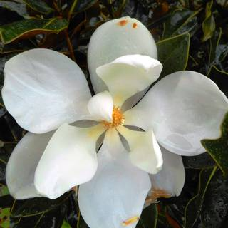 Magnolia grandiflora Little Gem
