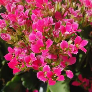 Kalanchoe Hot Pink Mini