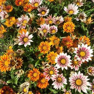 Gazania rigens Tiger Mix