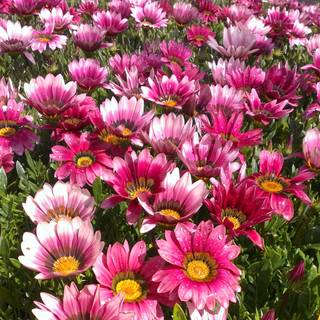 Gazania rigens New Day Pink Shades