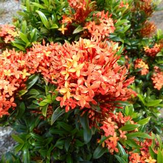 Ixora Twilight Glow