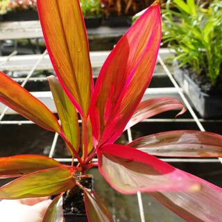 Cordyline fruticosa John Klass Red