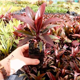 Cordyline fruticosa Purple Compacta