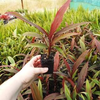 Cordyline fruticosa Green & Gold