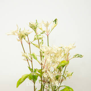 Alternanthera Ficoidea 'Snow on the Mountain'