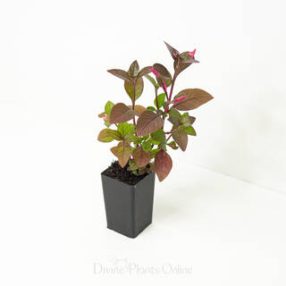 Alternanthera amoena Purple Splash