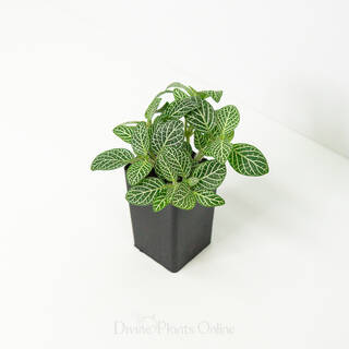 Fittonia White Skeleton