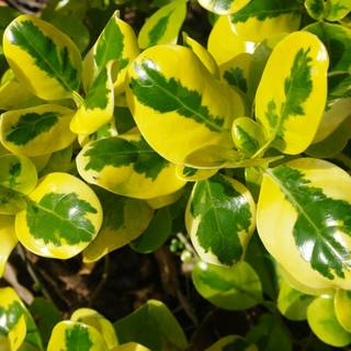 Euonymus fortunei Gold Splash